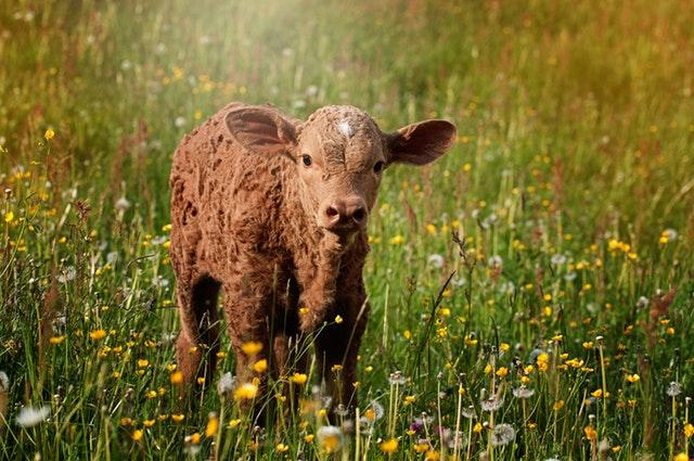 Calf Ration