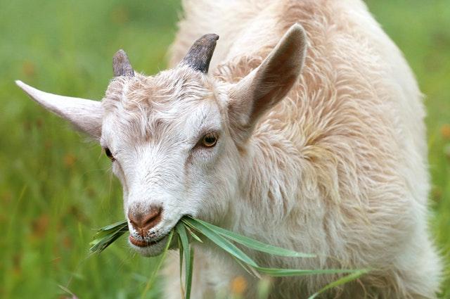 Goat Ration