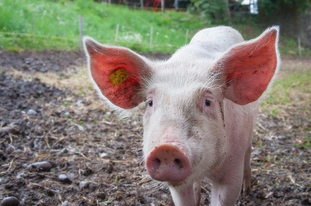 Swine / Sow Ration