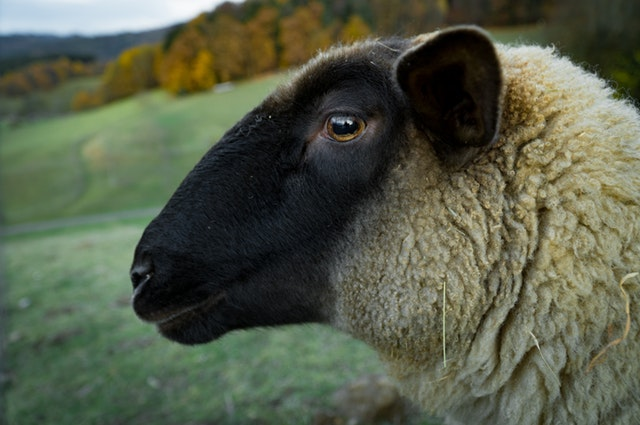 Sheep Ration