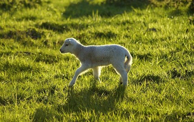 lamb-4232805_640-1