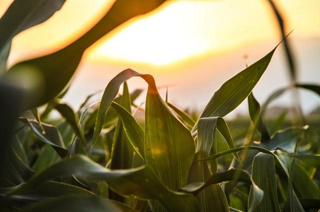 Alfalfa Meal 3-1-2