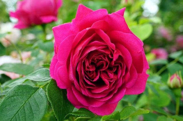Rose Food 4-2-4