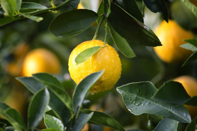 Citrus- Procidic