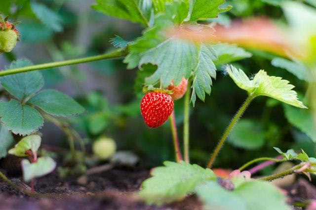 Strawberries- Pyganic
