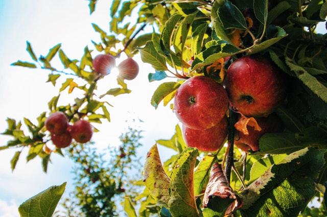 Apples- Milky Spore