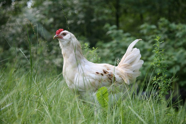 Poultry Grit