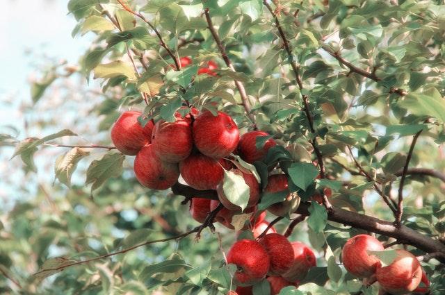 Apple Tree- Surround WP