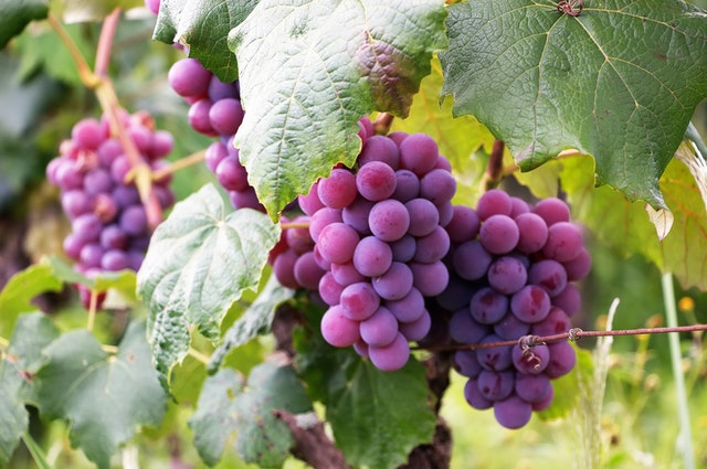 Grape & Vine Program