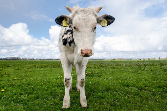 Heifer Choice