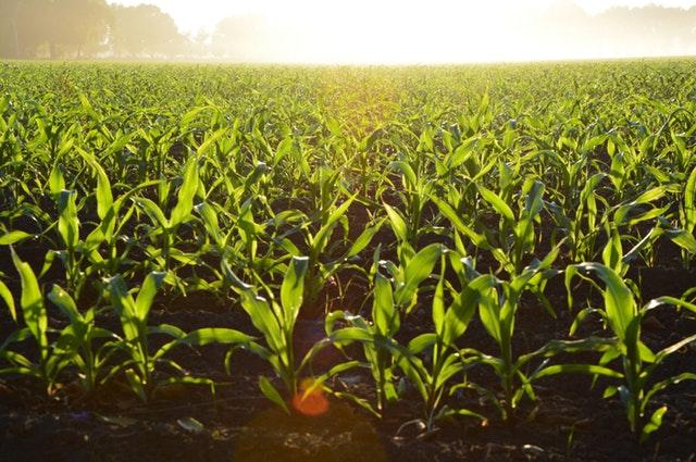 Corn- Oxidate