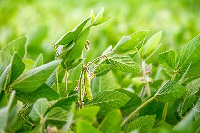 soybeans640x427