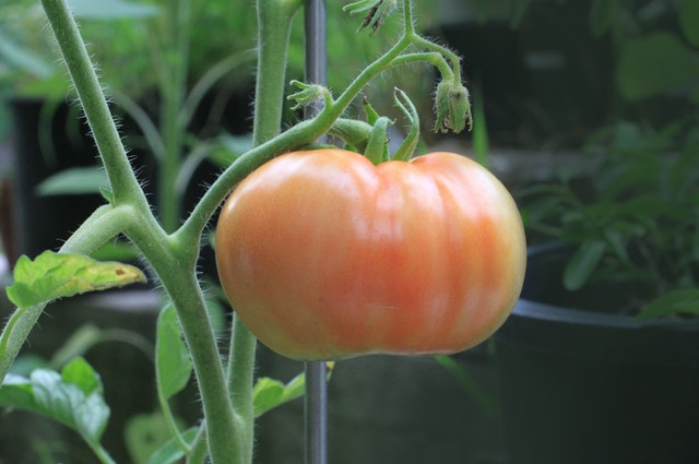 Tomato- Copper Sulfate