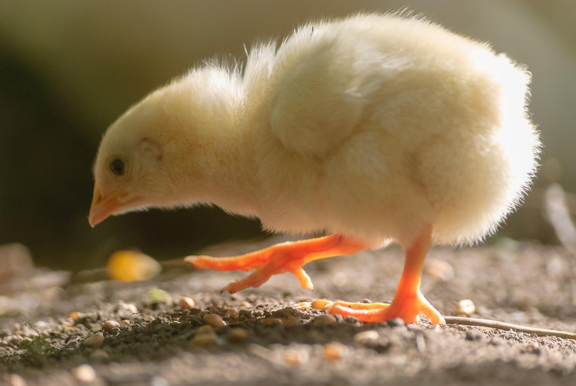 Fertrell Blog | laying hens